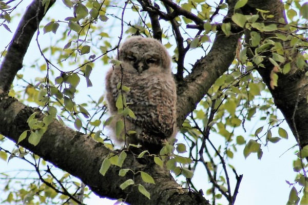 First Owlet in tree