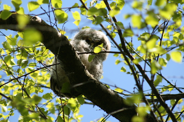 Second owlet in tree